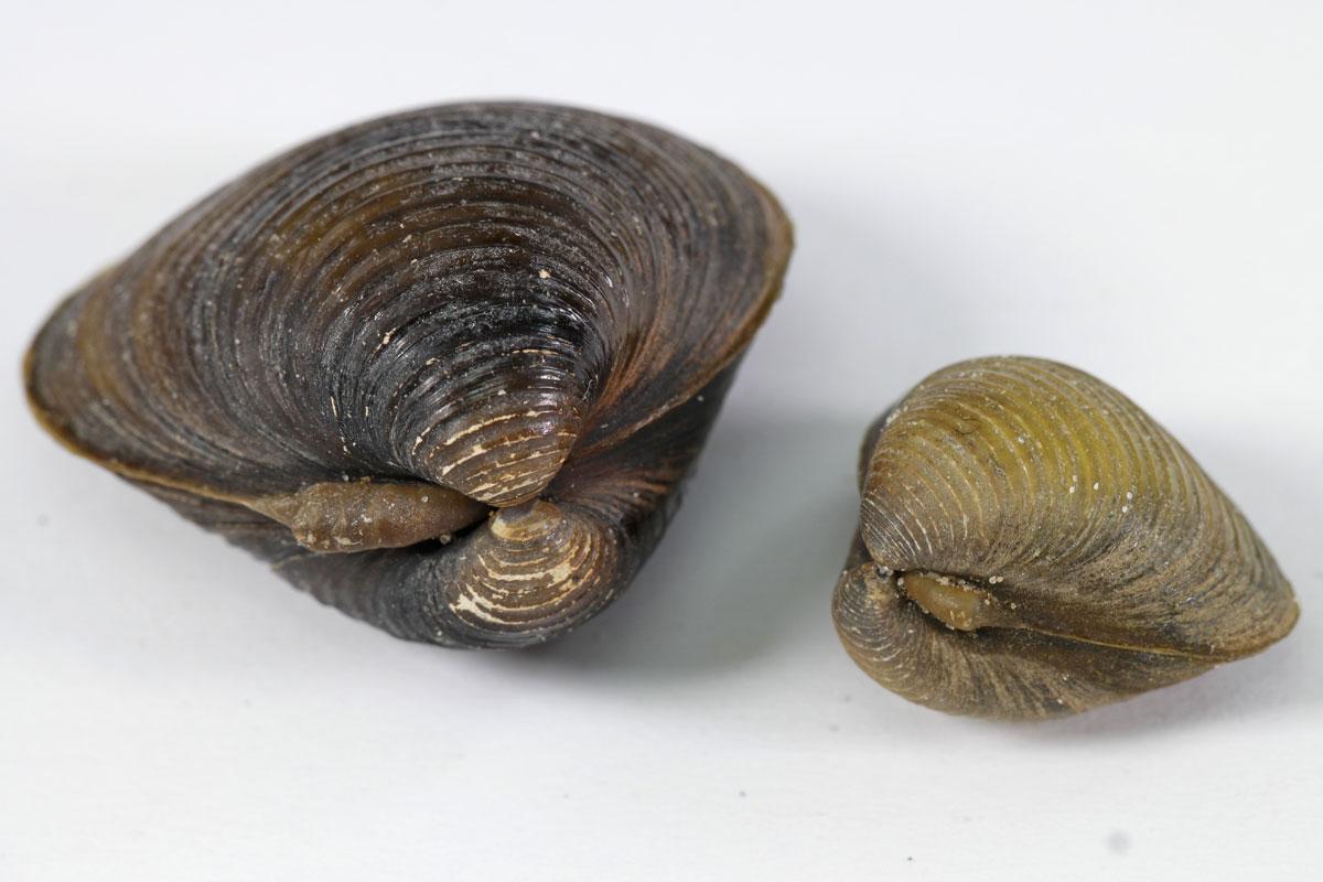 Corbicula fluminea