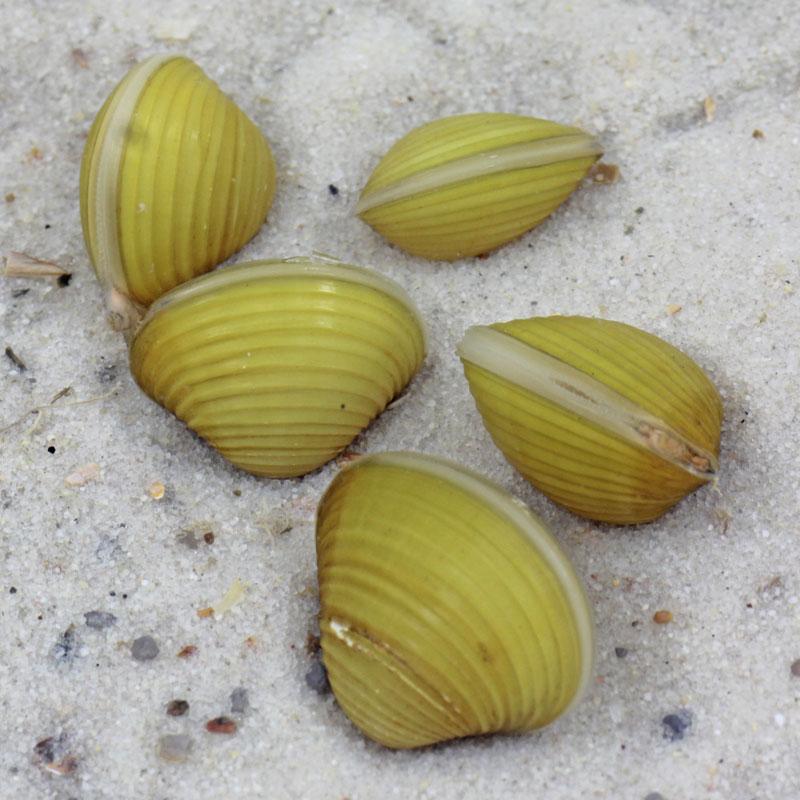 Corbicula-javanicus.jpg