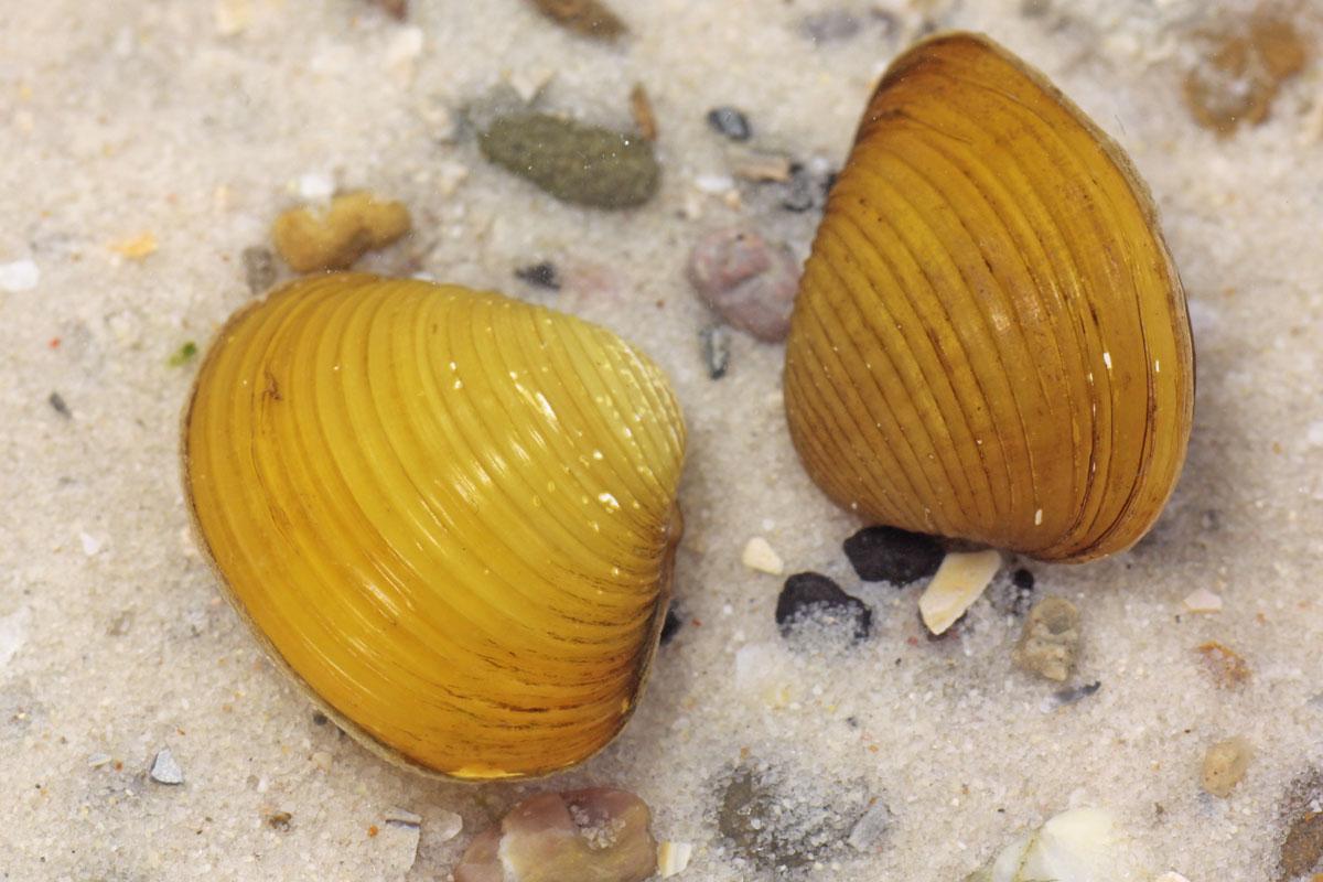 Corbicula javanicus
