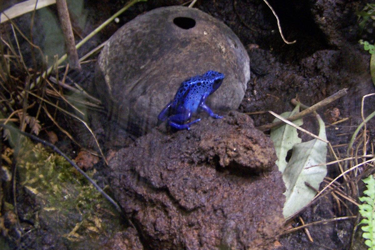 Dentrobates tinctorius azureus