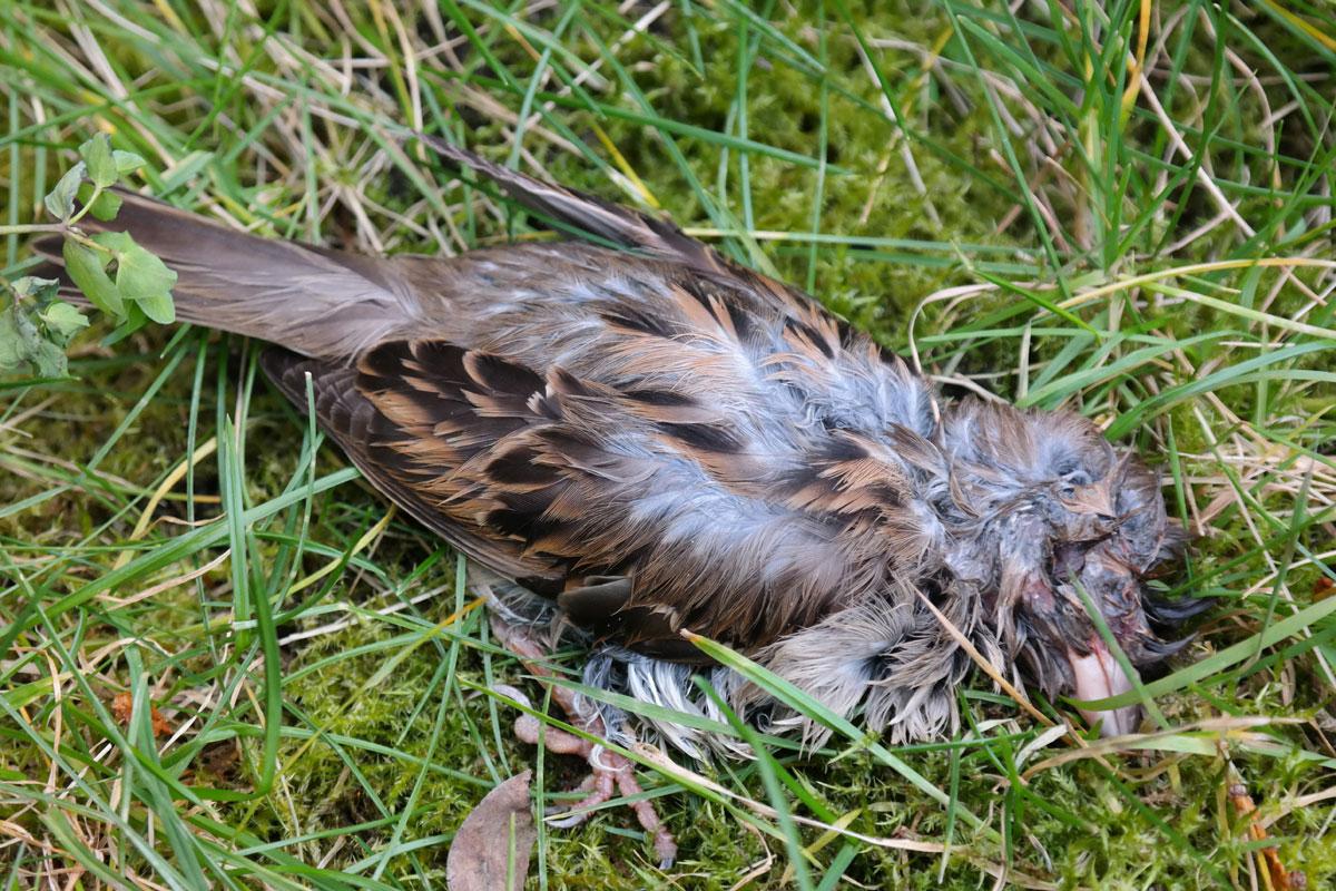 House Sparrow dead