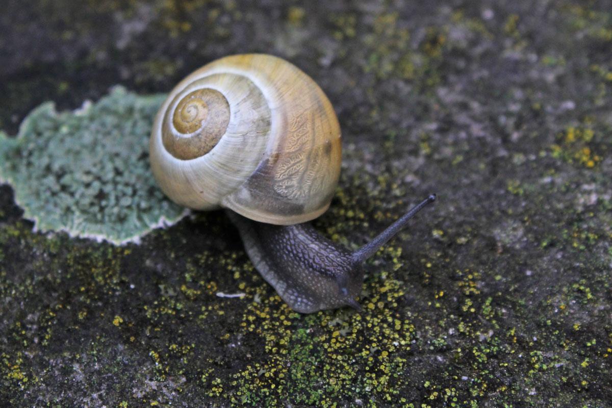 White-Lipped-Snail